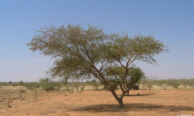 """<p class=""""Normal""""> Keo arabic được chiết xuất từ cây keo châu Phi, chủ yếu từ hai họ keo lớn Seyal và Acacia Senegal mọc ở khu vực Sahel. Xu-đăng là nhà sản xuất lớn nhất.</p><p class=""""Normal"""">Ảnh: Nexira</p>"""