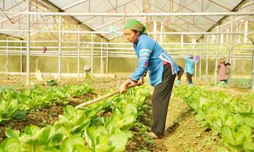 Hiệu quả trồng rau sạch trên dẻo cao Bắc Hà