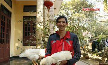 Chàng 'Sơn Tinh' khởi nghiệp với giống gà hiếm 9 cựa