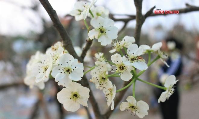 """<p> <em>Lê trắng chủ yếu được nhập từ Cao Bằng, Lào Cai, Hà Giang, Lạng Sơn… từ trước Tết, chờ """"bung hàng"""" cho người dân chơi Rằm tháng Giêng.</em></p>"""