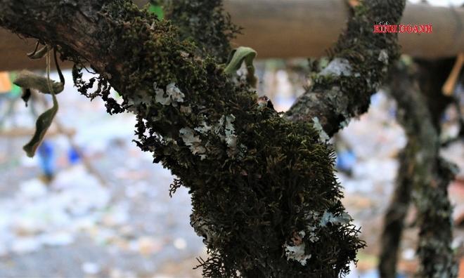 """<p> <em>Các tiểu thương tiết lộ những cành lê """"xịn"""" có tuổi đời lâu năm thì thân cây có nhiều điểm mốc, rêu phong trắng xóa, có cây leo tầm gửi.</em></p>"""