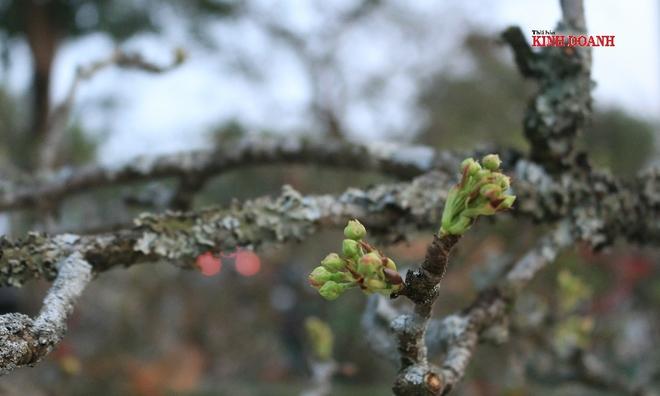 <p> <em>So với đào, mai, hoa lê có độ bền lâu hơn, thường xuyên thay nước, cành tiếp tục đâm chồi, ra nụ, có thể chơi được 2 tháng.</em></p>