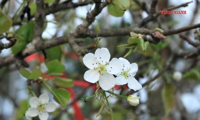 """<p class=""""Normal""""> <em>Hoa lê rừng khá đẹp, bông to, cánh tròn, mỏng tang, xếp dày thành từng lớp.</em></p>"""