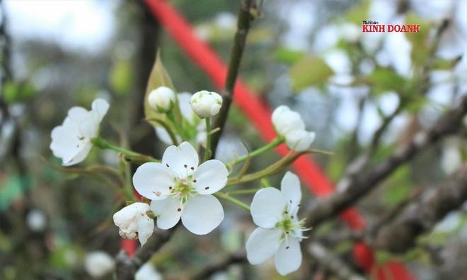 """<p class=""""Normal""""> <em>Màu trắng tinh khiết của hoa lê mang vẻ đẹp của núi rừng, nhẹ nhàng đơn sơ mà sang trọng, phù hợp để thờ cúng tổ tiên vào ngày Rằm tháng Giêng.</em></p>"""