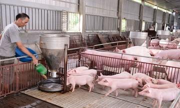 Hiệu quả từ mô hình nuôi lợn... không tắm