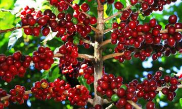 Thị trường nông sản ngày 4/3: Giá cà phê giảm theo thế giới, tiêu tăng thêm 500 đồng/kg
