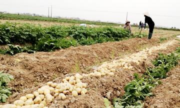Nâng tầm thương hiệu khoai tây hữu cơ Phù Lương