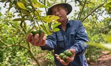HTX Nam Kim: Chế biến sâu nâng giá trị quả chanh 'xanh'