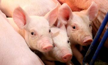 Thị trường nông sản ngày 8/3: Giá lợn hơi biến động nhẹ, tiêu và cà phê 'đi ngang'