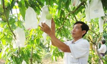 HTX Hòa Lộc khẳng định thương hiệu trái xoài VietGAP
