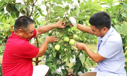 Khánh Thành hái quả ngọt từ trồng ổi VietGAP