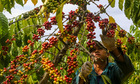 Thị trường nông sản ngày 10/4: Giá cà phê giảm nhẹ, tiêu giữ ổn định trong phiên cuối tuần