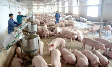 Hiệu quả chăn nuôi công nghệ cao ở Triệu Trạch