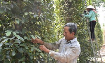 Thị trường nông sản ngày 15/4: Giá tiêu giảm do xả hàng, cà phê tăng 500 đồng/kg