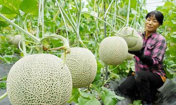 Bắc Bình bứt lên từ trồng trọt hữu cơ trên đất hạn
