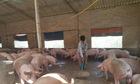 Thị trường nông sản ngày 17/4: Giá lợn hơi biến động trái chiều, tiêu giảm phiên thứ 4 liên tiếp