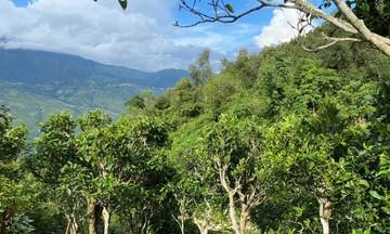 Tà Xùa 'hồi sinh' từ du lịch và bảo tồn cây chè cổ (Bài 3): Ấm no từ trà shan tuyết