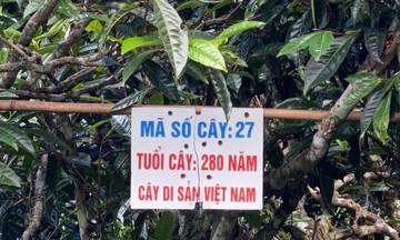 Tà Xùa 'hồi sinh' từ du lịch và bảo tồn cây chè cổ (Bài cuối): Thành công từ kinh doanh bền vững