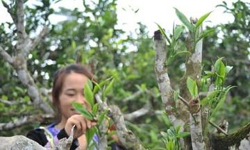 HTX Phìn Hồ và hướng đi bền vững từ cây chè hữu cơ