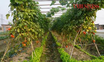 HTX Yên Mỹ: Thu 'trái ngọt' từ… sản xuất rau VietGAP