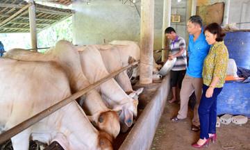 Tân Kỳ: Hiệu quả nhân đôi từ nuôi bò VietGAP