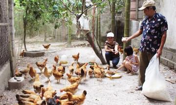 Hiệu quả nuôi gà an toàn sinh học trên đất cát Triệu Phong