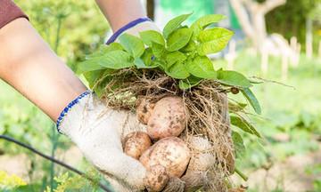 HTX thắng lớn nhờ trồng khoai tây theo phương pháp tối thiểu