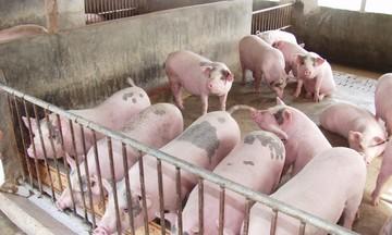 Thị trường nông sản ngày 6/5: Giá lợn hơi giảm mạnh xuống mức thấp nhất 67.000 đồng/kg, cà phê tăng nhẹ