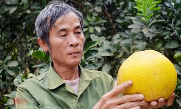 Sản xuất sạch gây dựng vườn bưởi 'vàng' Giang Sơn Đông