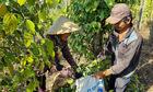 Thị trường nông sản ngày 7/5: Giá tiêu tiếp tục đi ngang, cà phê tăng nhẹ