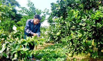 Vị ngọt từ cây ăn quả VietGAP ở Yên Sơn