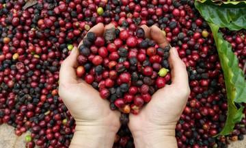 Thị trường nông sản ngày 8/5: Giá cà phê và tiêu giảm, lợn hơi miền Bắc đồng loạt chững lại
