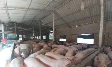 Thị trường nông sản ngày 12/5: Giá lợn hơi thấp nhất 64.000 đồng/kg, cà phê tăng nhẹ