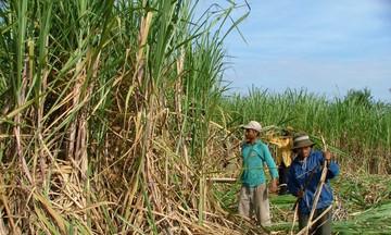 Áp thuế chống bán phá giá đường Thái, có đủ 'cứu' đường Việt?