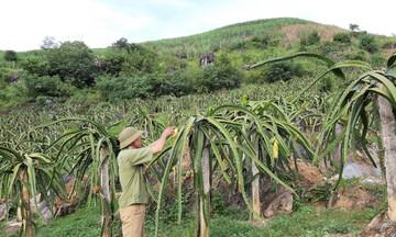 Biến đất dốc Sơn La thành vựa trái cây (Bài 2): Người tiên phong trồng thanh long ở bản vùng cao