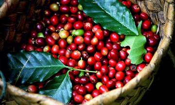 Thị trường nông sản ngày 15/5: Giá cà phê giảm mạnh, lợn hơi biến động từ 1.000 - 4.000 đồng/kg