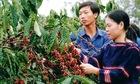 Đồng bào Ê đê ở Đắk Lắk phát triển kinh tế bền vững (Bài 1): Buôn làng đổi thay từ chuyển đổi cây trồng
