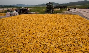 Chi tới 1,14 tỷ USD nhập khẩu ngô trong 5 tháng