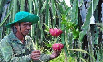 Giữ môi trường xanh nhờ trồng thanh long đỏ VietGAP