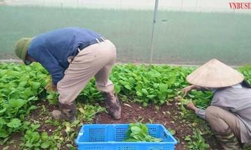 Đưa công nghệ vào sản xuất rau, quả sạch ở HTX Chúc Sơn