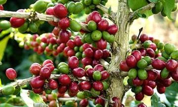 Giá cà phê dự báo sẽ có những dao động lớn