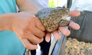 Bí quyết nuôi ếch sạch của HTX Phát Đạt