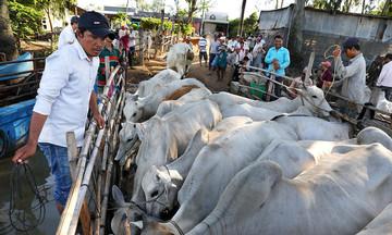 Tạo sinh kế cho đồng bào Khmer ở Tịnh Biên (Bài 1): Nghề chăn nuôi giúp giảm nghèo