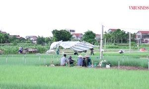 Hiệu quả từ mô hình trồng hành lá ở HTX Võng Xuyên