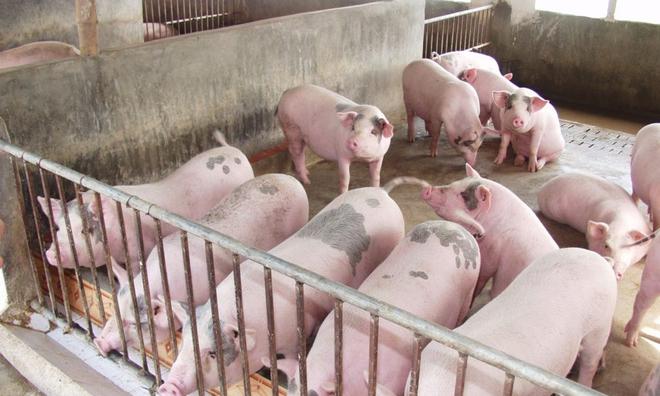 Giá lợn hơi có thể trở lại mốc 70.000 đồng/kg vào đầu tháng 7