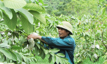 Ổi VietGAP phát huy giá trị trên vùng cao Con Cuông