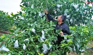 HTX Việt Doanh khá lên nhờ 'bắt' ổi VietGAP ra quả trái vụ