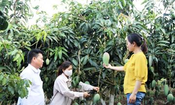 Mai Sơn: HTX bứt lên cùng cây ăn quả công nghệ cao