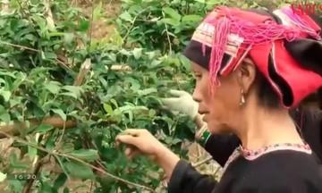 Khoa học công nghệ nâng 'chất' nông nghiệp Hà Giang (Bài cuối): Xóa nghèo từ cây dược liệu