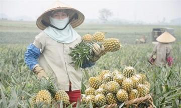 Sản xuất xanh thu dứa vàng trên đất đồi Phú Hòa